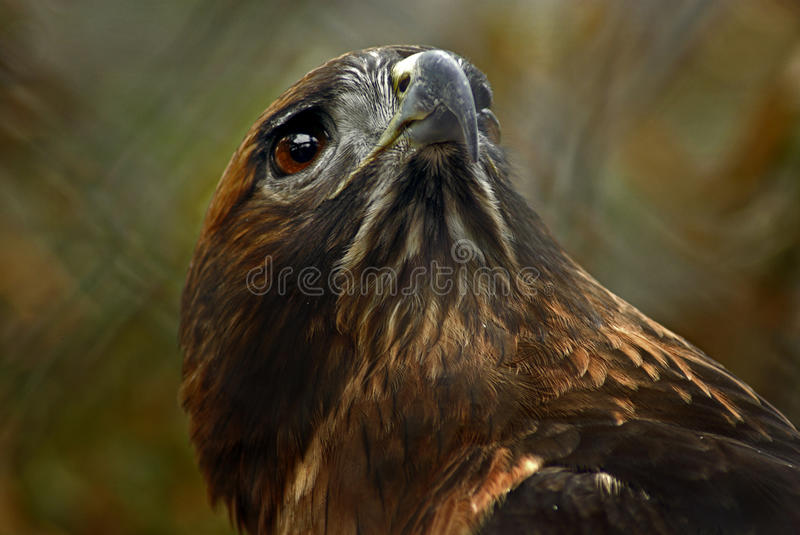 Red Tailed Hawk Portrait. A closeup on the head of a red-tailed hawk stock image