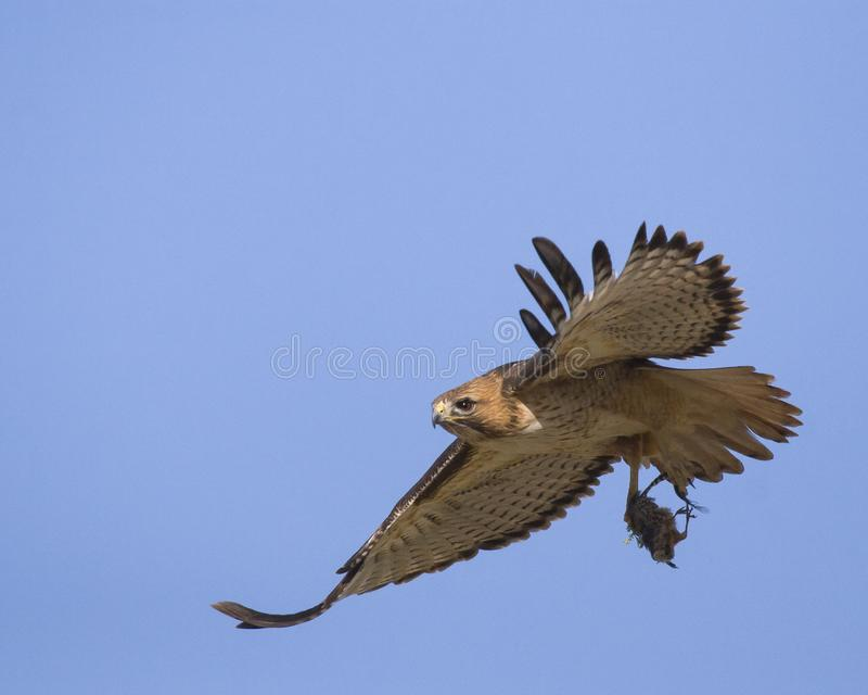 Red-tailed hawk with prey. Caught this image of a red-tailed hawk after it had cleaned the feathers from the small bird it captured royalty free stock photos