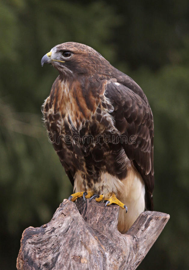 Free Red-tailed Hawk Profile Royalty Free Stock Photos - 31510358