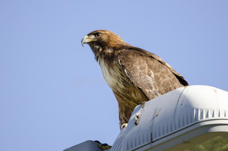 Red Tailed Hawk raptor on telephone pole in Tucson Arizona desert. Red-Tailed Hawk, Buteo jamaicensis, perched on telephone pole. The red-tailed hawk is a bird royalty free stock image