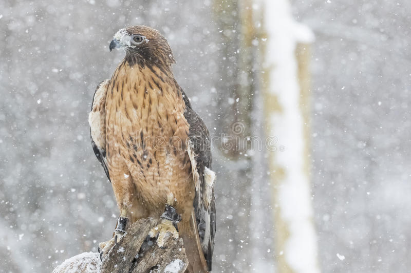 Red Tailed Hawk In The Snow royalty free stock photo