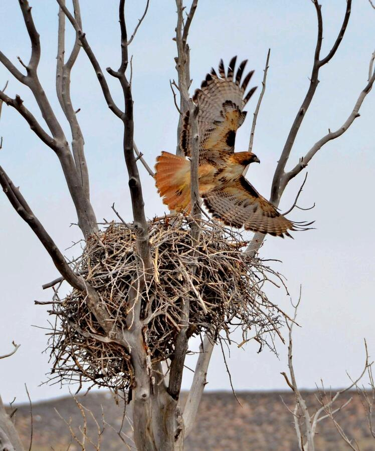 Free Red Tailed Hawk Taking Off From Her Nest. Stock Images - 189379944