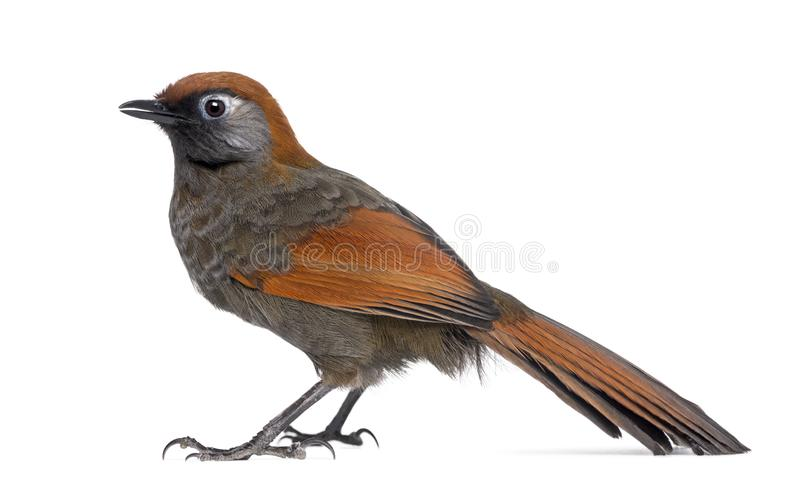 Red-tailed Laughingthrush - Garrulax milnei, isolated. On white royalty free stock photos