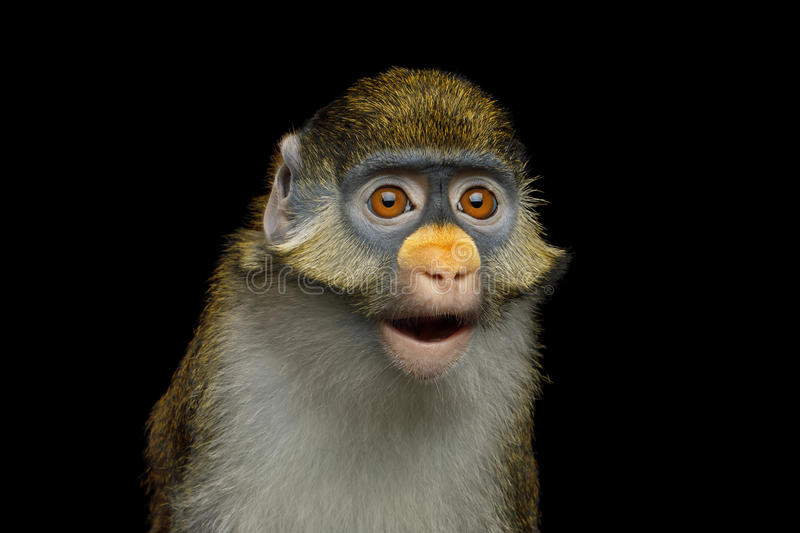 Download Red-tailed Monkey stock photo. Image of cheeked, cercopithecus - 97033564