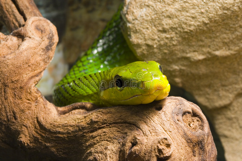 Red Tailed Racer royalty free stock images