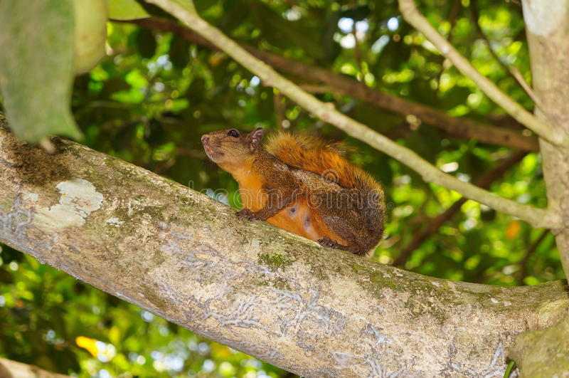 Red-tailed Squirrel Sciurus granatensis Costa Rica stock photo