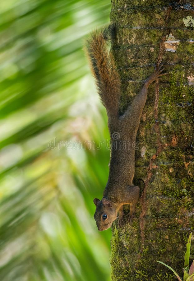 Red-tailed squirrel. Stretched out on a palm tree by the Caribbean Sea in Costa Rica