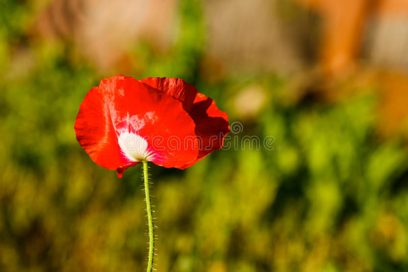 Red Texas Wildflower stock photos