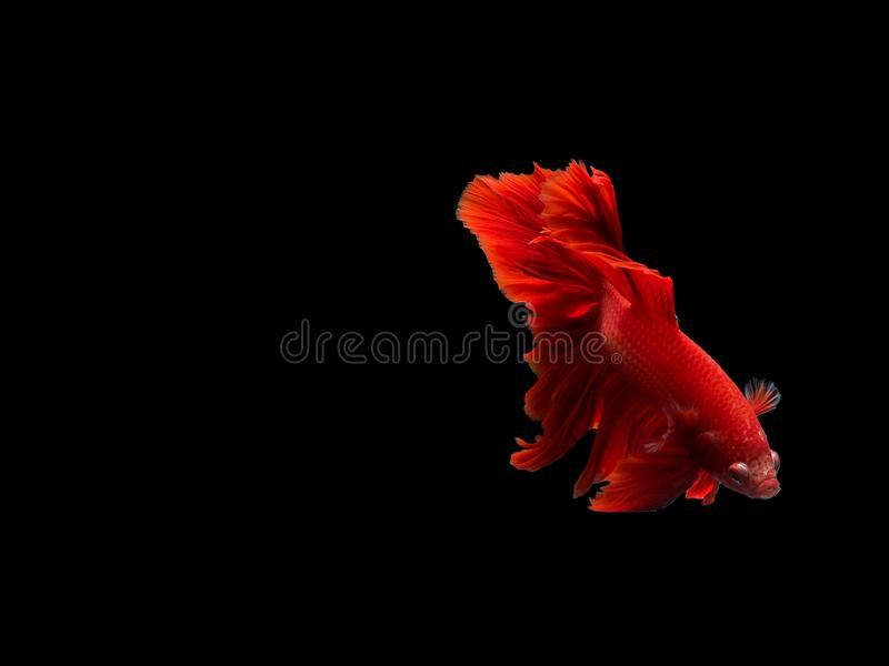 Red Thai fish fighter. With action down and black background stock photos