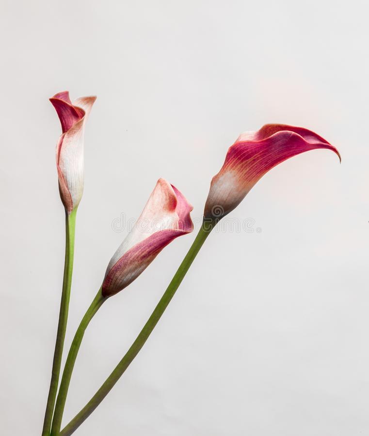 Red three Calla Lillies on bright background stock image