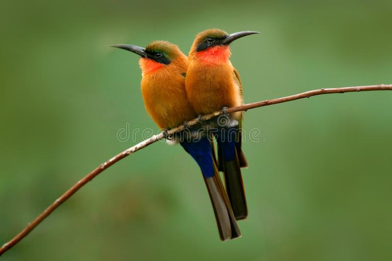 Red-throated bee-eater, Merops bulocki, Benin, Cameroon, Congo, Ethiopia, Gambia, Ghana. Detail of pair exotic orange and red afri. Red-throated bee-eater royalty free stock photography