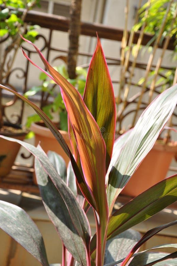 Download Red Ti Plant Three stock image. Image of linnaeus, kauai - 29034171