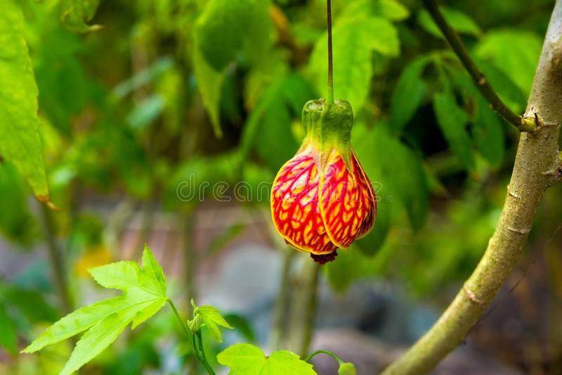 Red Tiger Abutilon Japanese Lantern Plant Tiger Eye. The Japanese lantern plants Physalis alkekengi produces a paper-like calyx around its seed that resembles an stock photos
