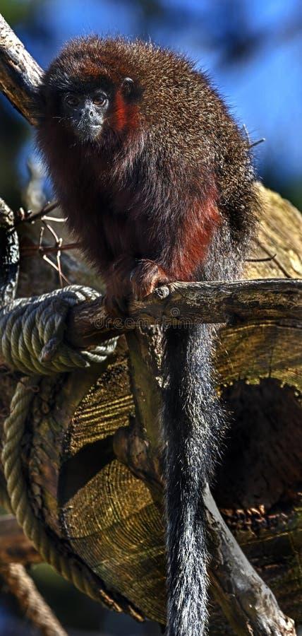 Red Titi monkey 7 royalty free stock image
