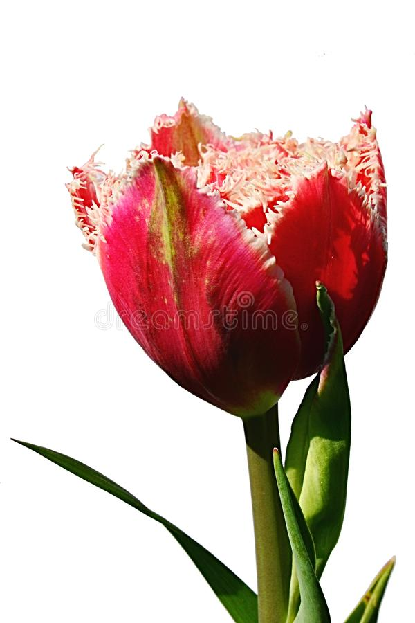 Red to pink tulip flower with white fringed petal borders, hybrid name Mascotte, in full blossom royalty free stock images