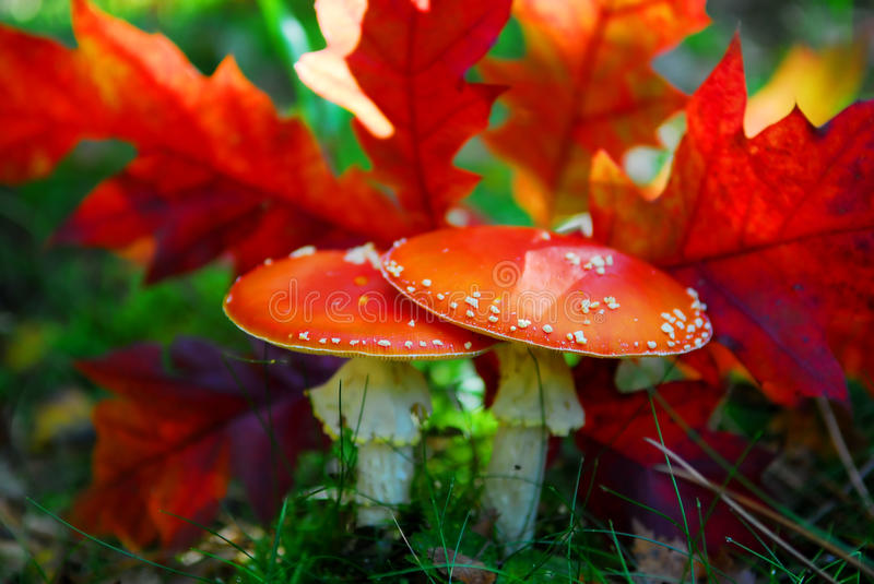 Red toadstool stock photo