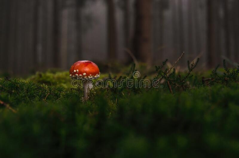Red Toadstool In Forest Free Public Domain Cc0 Image