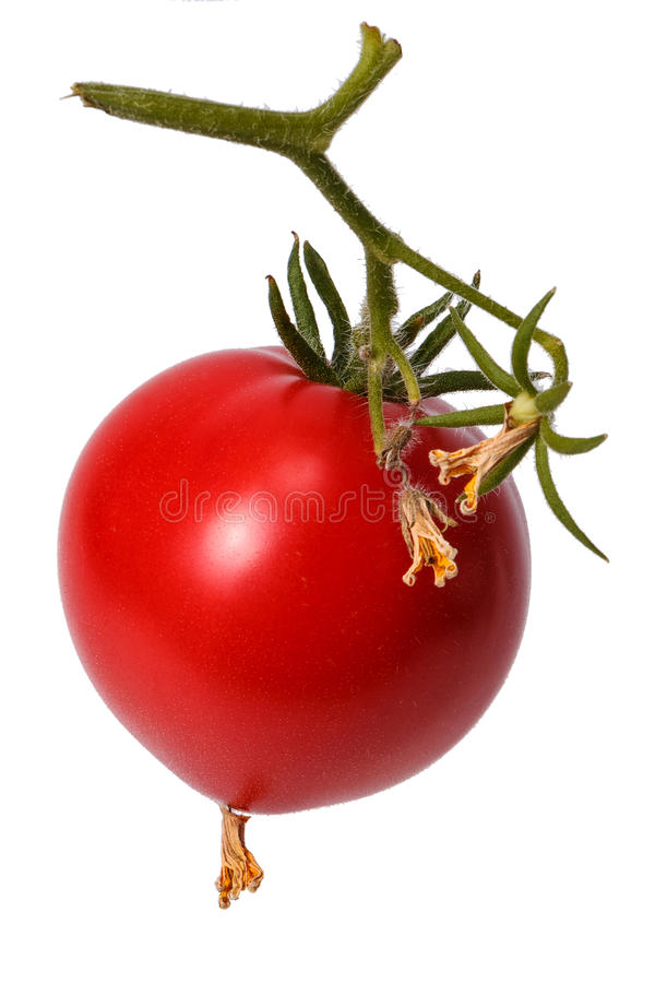 Red tomato on a branch. With dead flowers tomatoes royalty free stock images