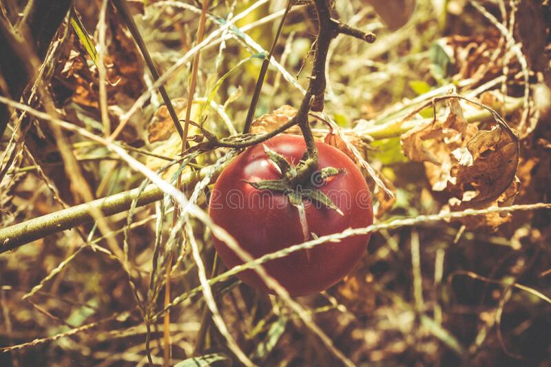 Red Tomato at Dried Plant stock photos