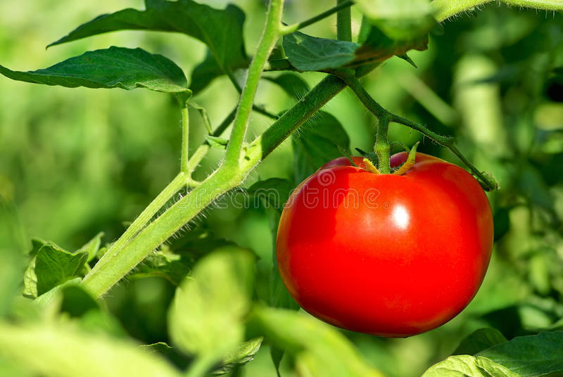 Red tomato on plant. Mature Red tomato on plant royalty free stock image