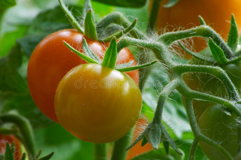Download Red tomatoes stock image. Image of agriculture, rain, outdoor - 171477