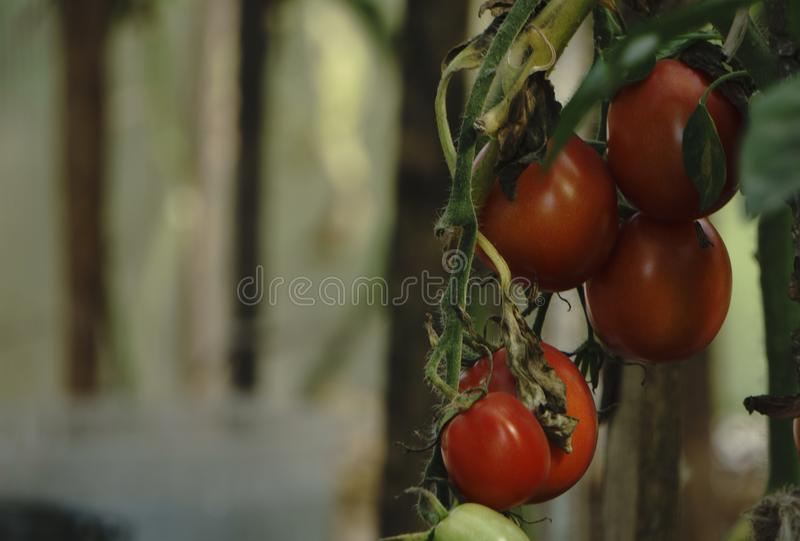Red tomatoes background. Group of tomatoes.  royalty free stock photo