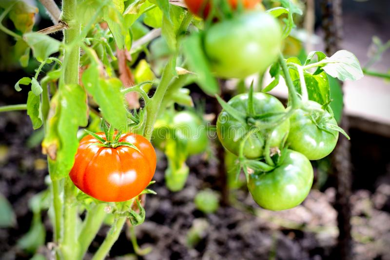 Red tomatoes on a branch in greenhouse royalty free stock image
