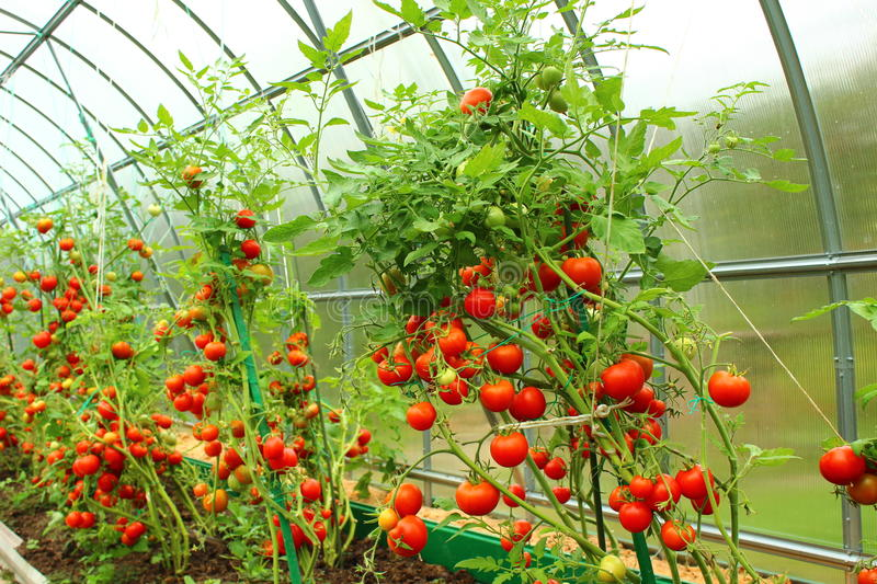 Red tomatoes in a greenhouse stock photo