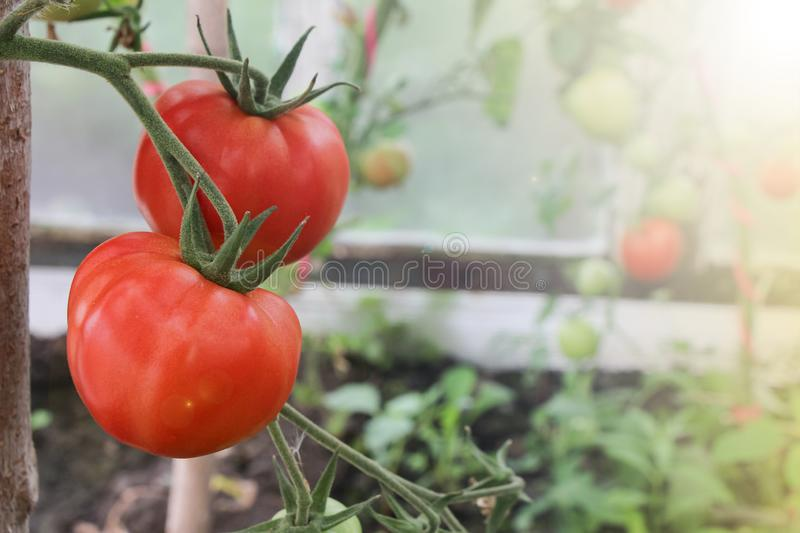 Red tomatoes in a greenhouse stock photos