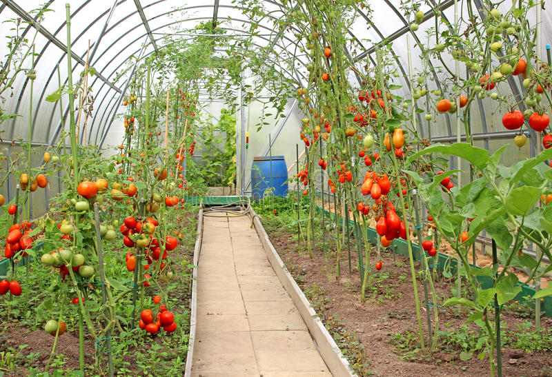 Red tomatoes ripening in a greenhouse stock image