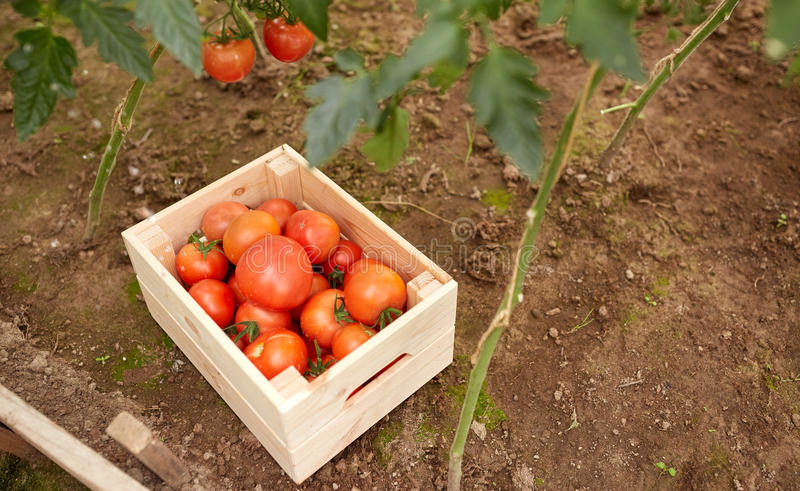 Red tomatoes in wooden box at summer garden. Vegetable, gardening and farming concept - red tomatoes in wooden box at summer garden royalty free stock photos