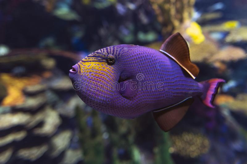 Red-toothed triggerfish - Odonus niger saltwater fish. Close up stock image