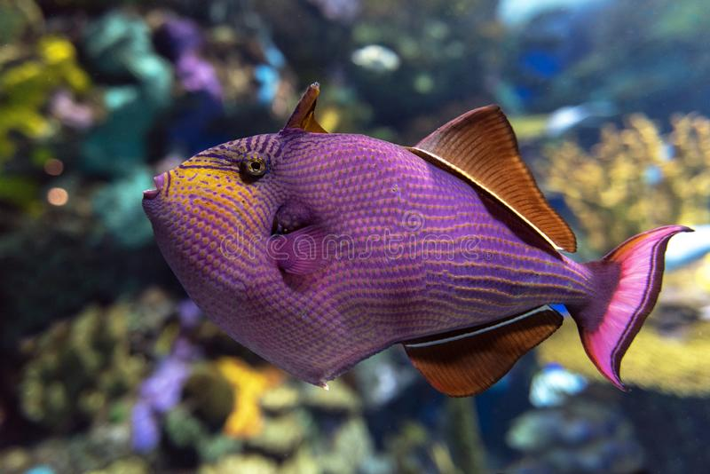 Red-toothed triggerfish - Odonus niger saltwater fish. Close up stock images