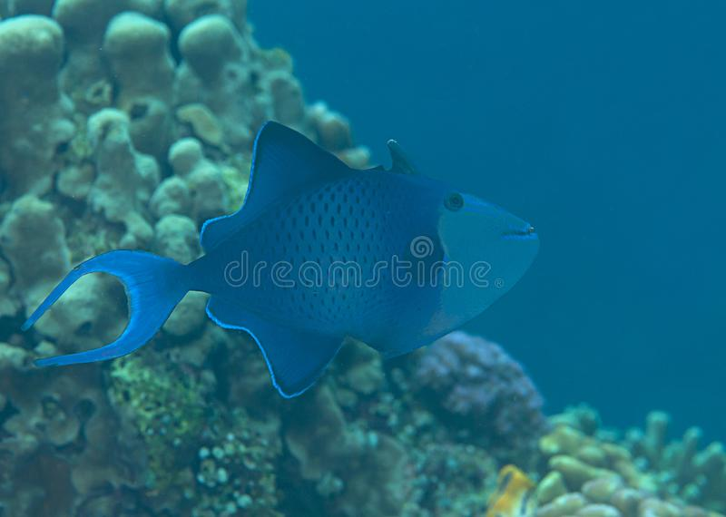 Red-toothed triggerfish Odonus niger swimming over coral reef of Bali, Indonesia. Macro of a red-toothed triggerfish Odonus niger swimming over coral reef of stock images
