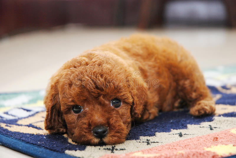 Red Toy poodle. Small Red Toy Poodle born royalty free stock photography
