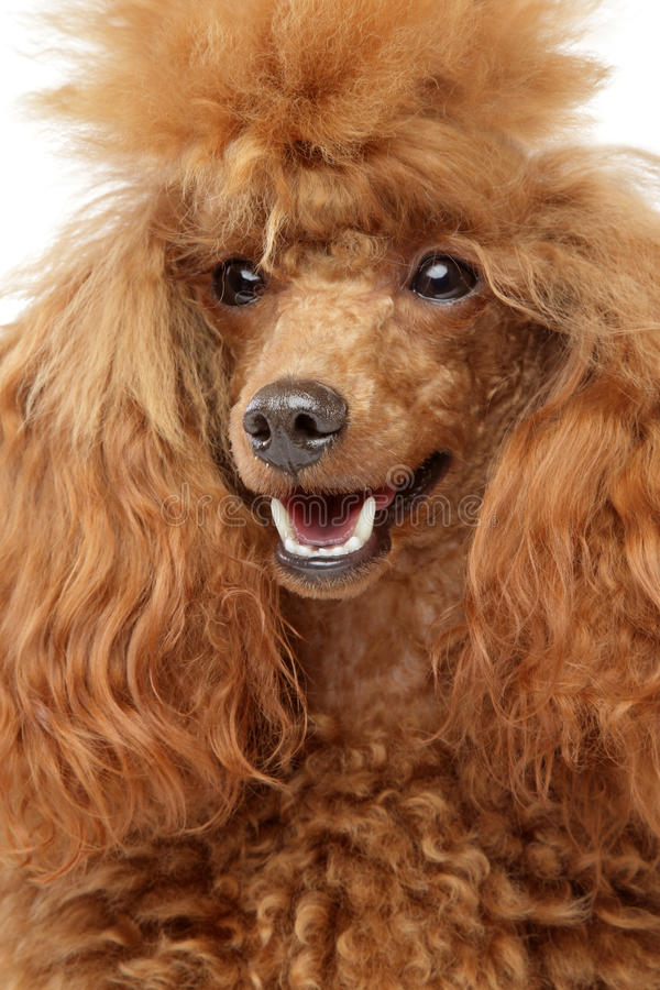 Red toy poodle puppy Close-up portrait. On a white background stock image