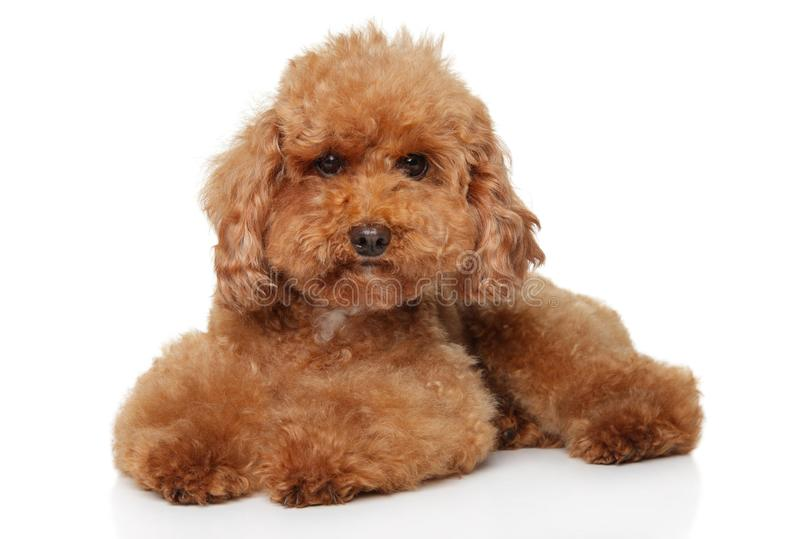Red Toy Poodle puppy lying on white background stock images