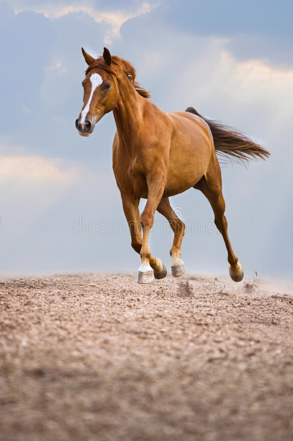 Red Trakehner horse runs trot on the sky background royalty free stock photo