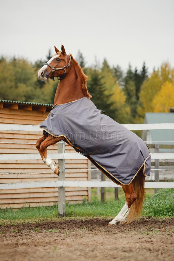 Free Red Trakehner Mare Horse Rearing Up Near Fence In Autumn Royalty Free Stock Image - 160401126