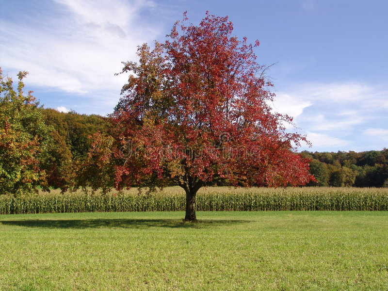 Red Tree stock photo