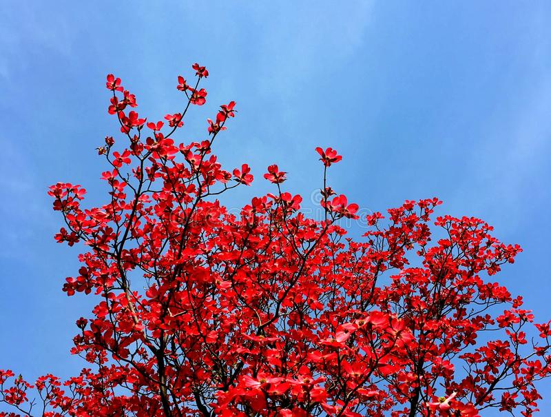 Red tree royalty free stock photo