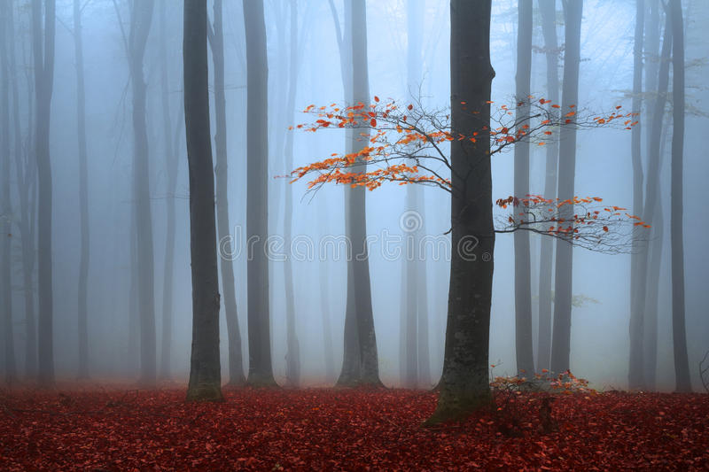 Red tree in a foggy autumn forest stock photos