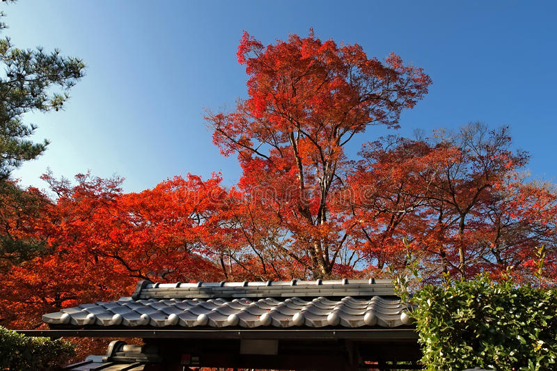 Red tree in japan royalty free stock image