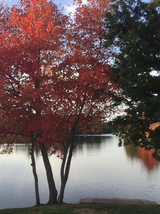 Red tree at Papermill Lake stock images