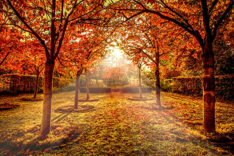 Red trees in autumn in a park stock images