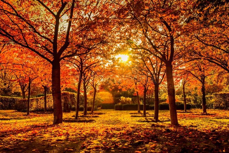 Red trees in autumn in a park stock photo