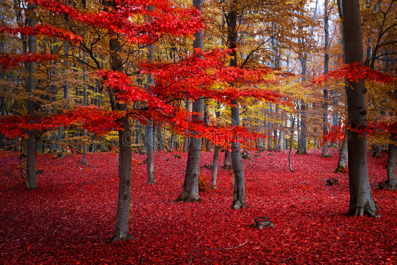 Red trees in the forest. During fall