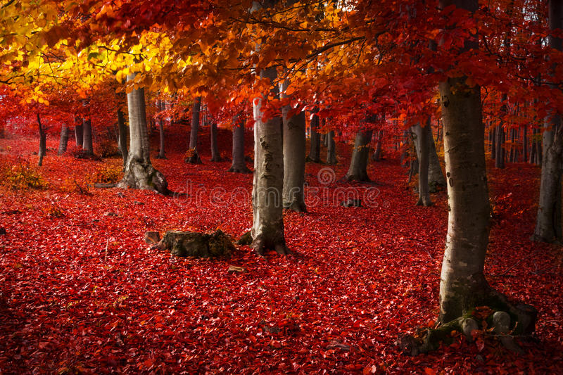 Red trees in the forest royalty free stock photos