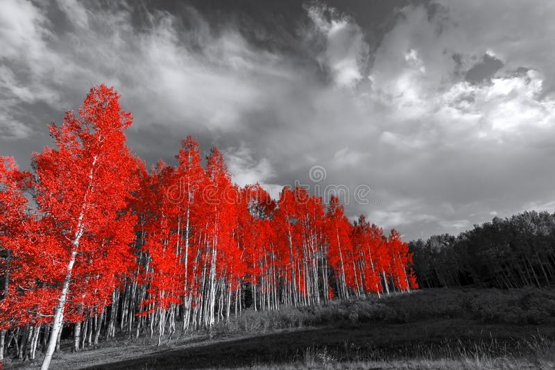 Red trees in surreal black and white landscape. Forest of red trees in surreal black and white landscape stock photography