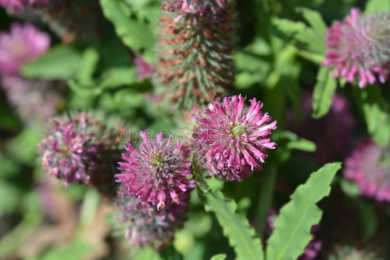 Red trefoil. Flower - Latin name - Trifolium rubens royalty free stock photos